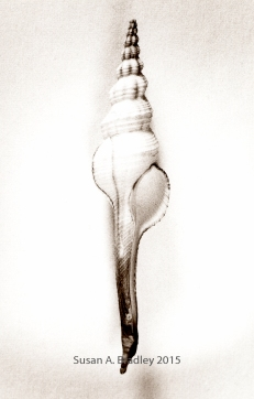 Fusinus Spindle Var1BT