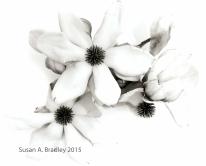 Magnolias in Brown Var1