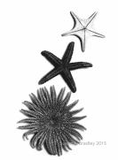 Starfish Var11