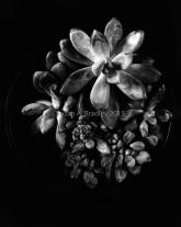 Succulent Potted Dark Var1