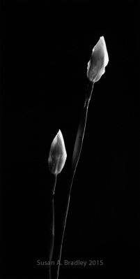 Wild Iris Buds Var2