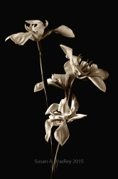 Wild Iris Var1BTv6