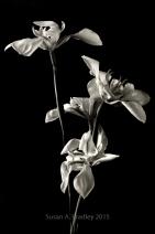 Wild Iris Var1ST v1