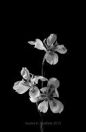 Wild Iris Var4