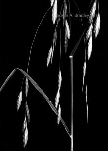 Night Weeds Var1