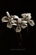 Wild Iris Var14BT v1