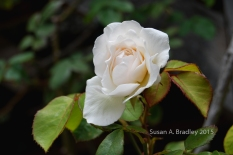 Berkeley Rose Garden No6