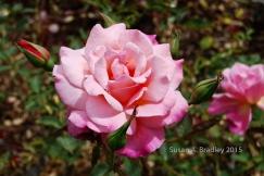Berkeley Rose Garden No5