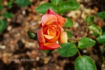 Berkeley Rose Garden No4