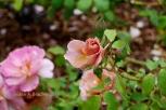 Berkeley Rose Garden No1