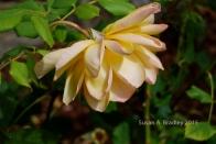 Berkeley Rose Garden No2