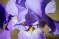 Forest Ranch Iris No1