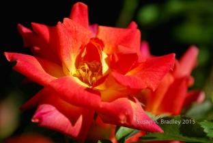 Helen's Rose No6