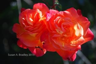 Emeryville Rose No1
