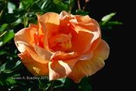 Mom's Rose No9