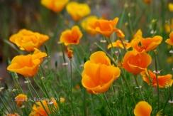 Chico Poppies No1