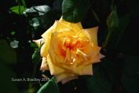 Mom's Rose No8