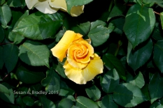 Mom's Rose No1