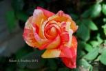 Mom's Rose No5