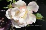 Mom's Rose No2